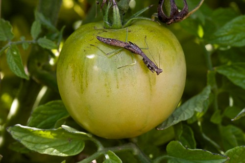 Mantis on Tomato, 1