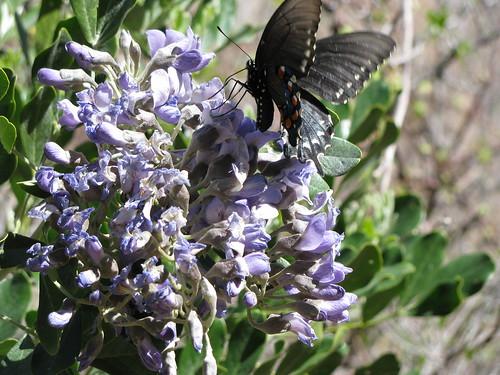An unidentified butterfly feeding from an unidentified flower