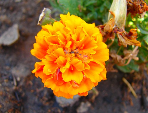 A marigold after a drink.