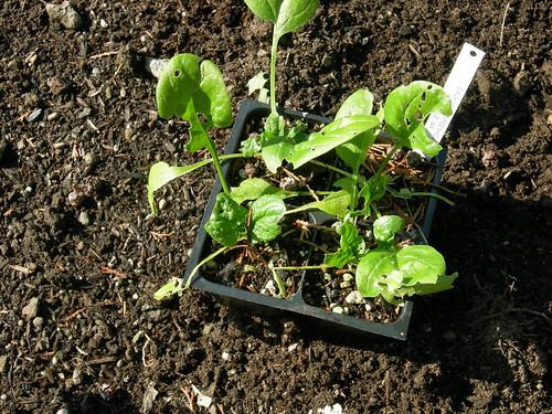 Spinach starts
