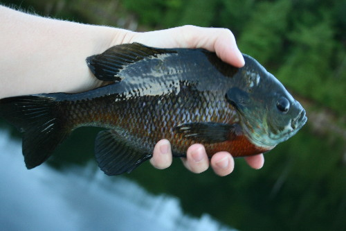 Large Bluegill