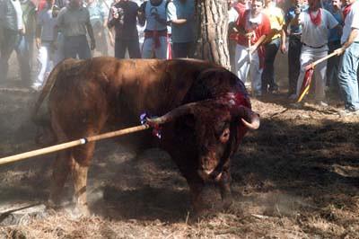 Toro de la Vega Tordesillas