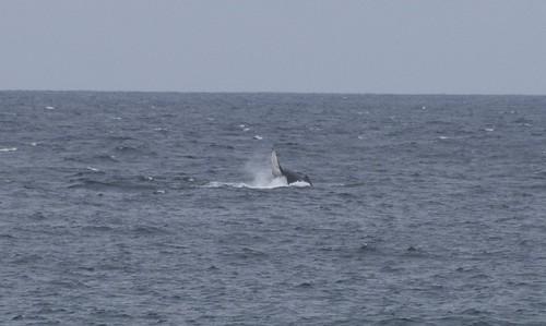 La ballena saltando