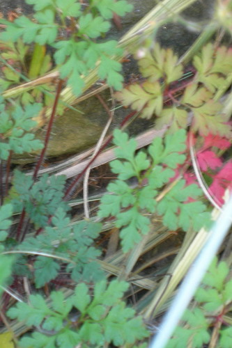 Herb Robert Turning Colors