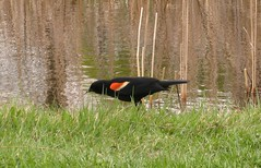 Red winged blackbird on Queen Elizabeth's Driveway