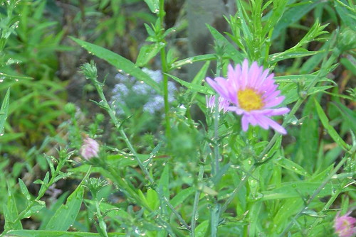 The First Aster