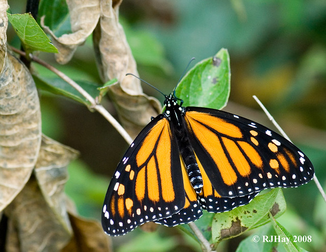 Female Monarch Buttefly - Kensington Park, Michigan