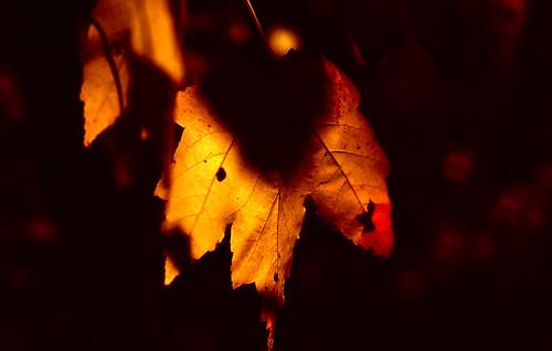 Glowing Leaf. (Fuji Velvia 100F. Nikon F100. Epson V500.)