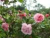 Pink Roses Gorton Park