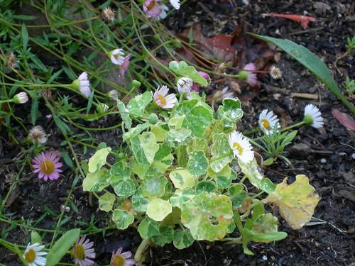 Teeny variegated nasturtium