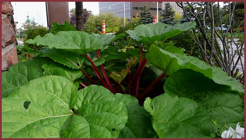 Rhubarb grows in Midtown.