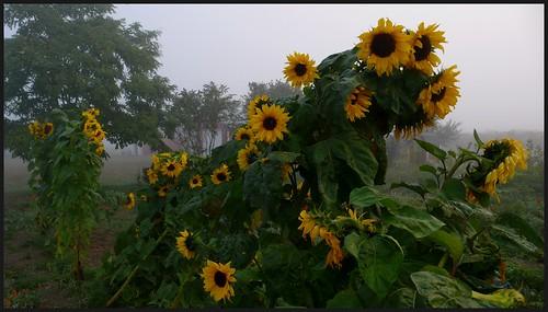 Foggy morning and sunflowers, Towne Rd., Sequim, Washington.