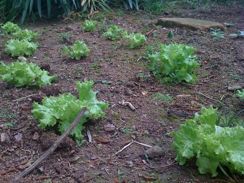 Os alfaces estão crescendo bastante...