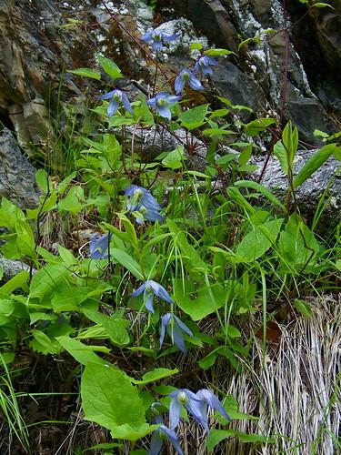 Wild Blue Clematis