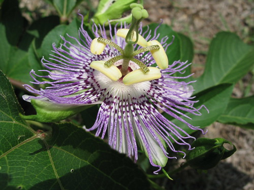 Passion Flower, Augusta, Georgia, July 2008, photo © 2008 by QuoinMonkey. All rights reserved.