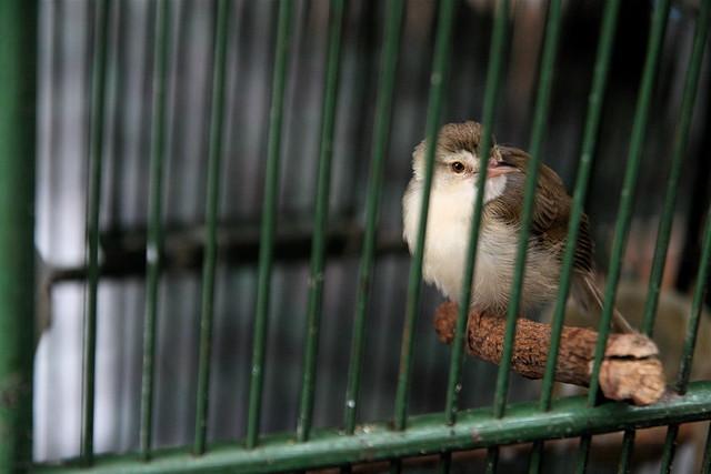 Bird at Bird Market, Yogya