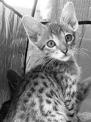 serengeti-kitten-081