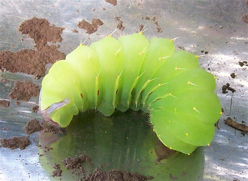 Polyphemus Caterpillar 2