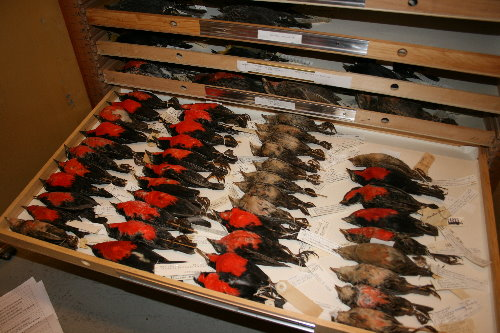 Blackbird skins at Royal Ontario Museum