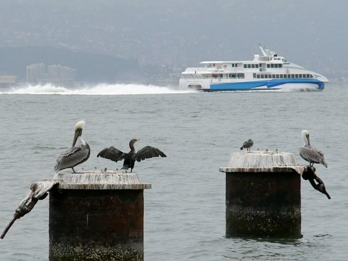 Pelicans and Cormorants Off Tiburon