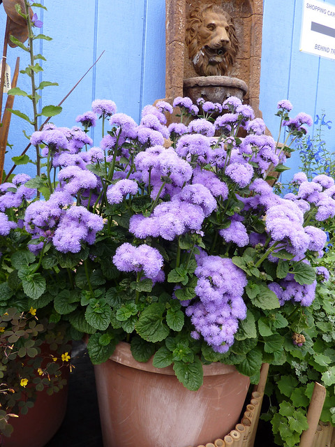 Ageratum Blue horizon in pot   2