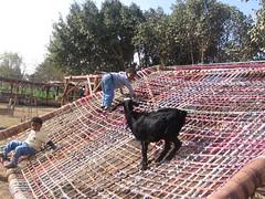 goat at fagnoon