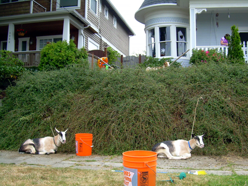 Neighborhood goats
