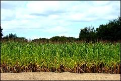 Le champs de maïs
