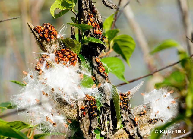 Some youngsters of the Large Milkweed Bug - Kensington Park, Michigan
