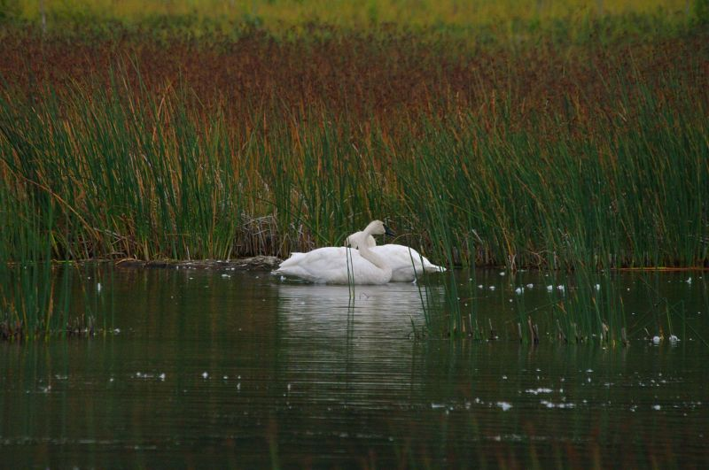 IMGP6689 a Trumpeter Swans