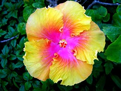 Yellow-Hibiscus