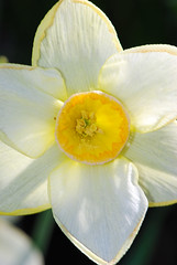 Narcissus up close