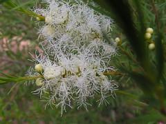 Melaleuca alternifolia (Tea Tree) - cultivated