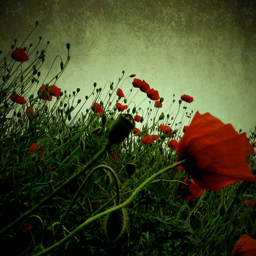 poppies on Flickr taken by Olga and licensed under Creative Commons