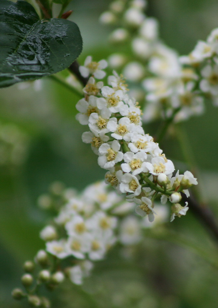 choke cherry bush