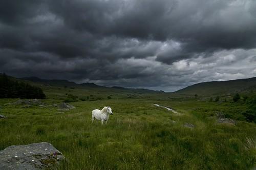 Snowdonian Pony