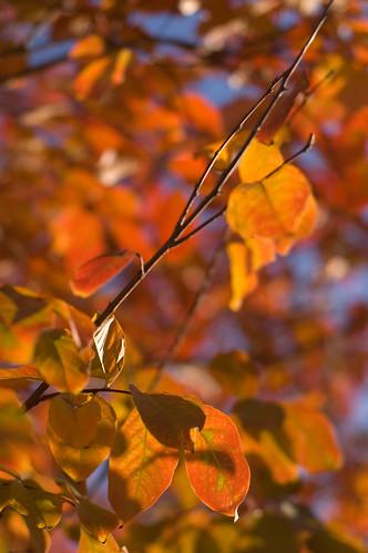 leaves like fire! (by bookgrl)