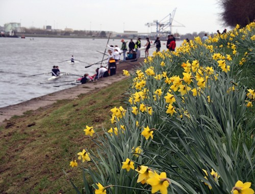 Daffodils and Rowers
