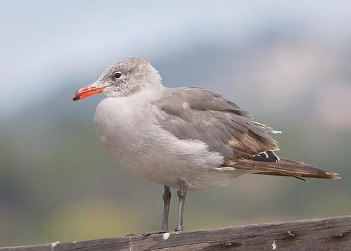Heermann's Gull by you.