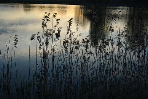 20100427-11_Reeds - Potford's Dam Pool - Near Cawston Woods (Rugby) by gary.hadden