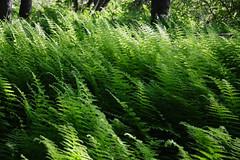Ferns ferns ferns