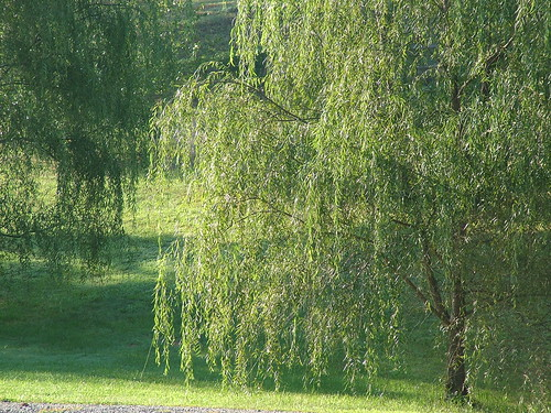 Morning sun on the willow tree