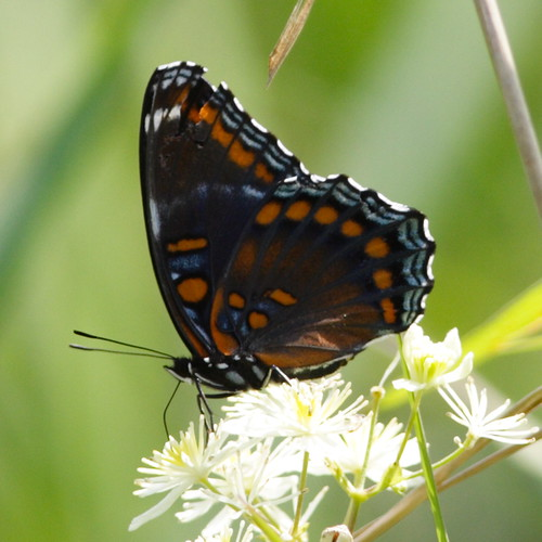 Red-spotted Purple 300mm lens