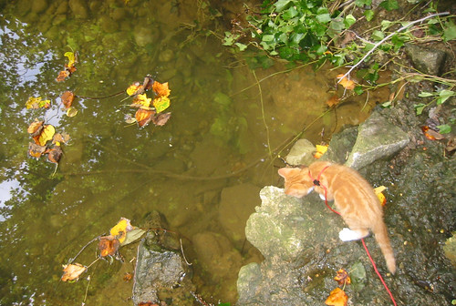 20080914 - cats visit our creek - 167-6782 - Lemonjello - looking at fish - please click through to leave a comment on FlickR