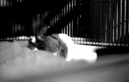 Cockatiel Sleeping. (Kodak Tri-X. Nikon F100. Epson V500.)