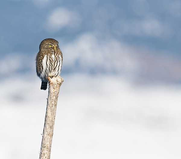 Northern Pygmy Owl watching over the bird feeders