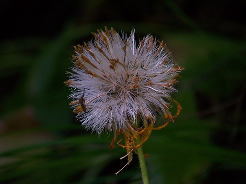 Western Groundsel seed head