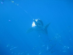 Great White Shark About to Take Bait