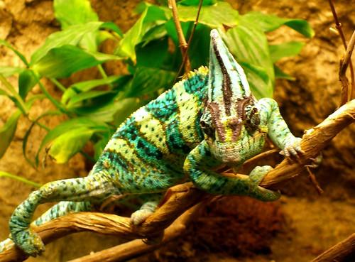 Veiled Chameleon by walknboston, on Flickr