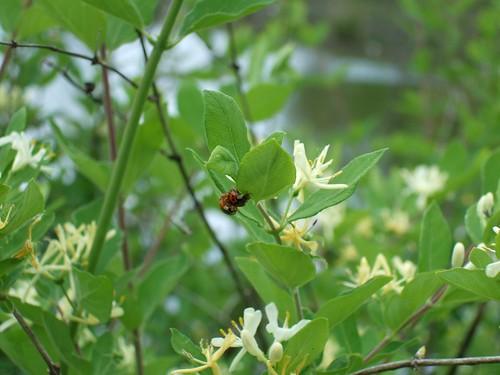 Copulating Ladybugs